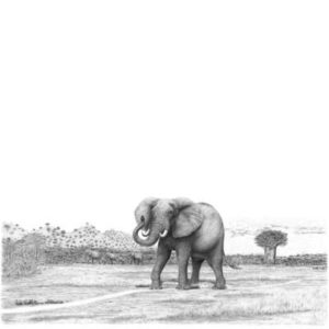 Elephant pencil drawing by Bowen Boshier Artist